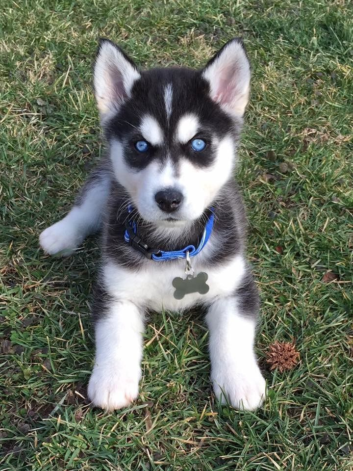 Siberianhusky Cute Husky Puppies Cute Dogs And Puppies Cute