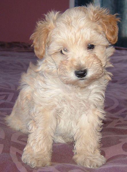 Growing Puppies - Virginia Breeder of Hypoallergenic Schnoodle Dogs: Schnoodles in high demand!