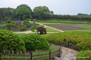 Korakuen garden, Okayama Tea bushes and rice field
