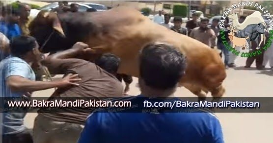Big and Beautiful Cow Qurbani | Bakra Eid Qurbani Video 2015 - Bakra Mandi Pakistan | Cow Mandi 2016 | Qurbani 2016