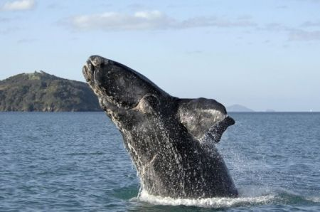 Southern right whale calf just off Ngunguru Bay, Tutukaka Coast