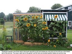 They grew sunflowers up against the coop to help provide shade in the summer and the hens ate any bugs that came around.