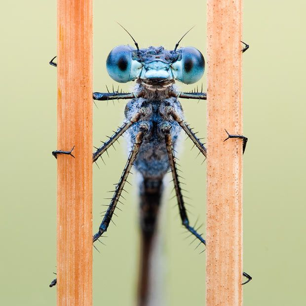 A male blue damselfly straddles the gap between two dry grass reeds  Picture: JOHN HALLMÉN