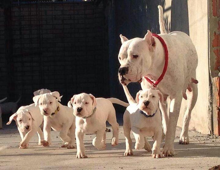 Dogo #Argentino / #Argentinian #Mastiff , Argentine Dog #Puppy #Dogs ...
