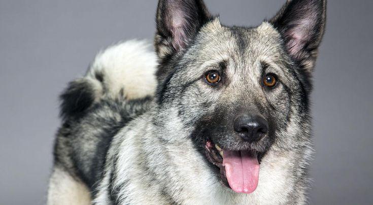 Norwegian Elkhound Dog...