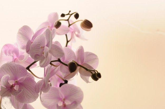 Close-up de orquídeas blancas sobre fondo claro. Phalaenopsis Orquídea rayado aislado. Rosa orquídea en olla sobre fondo blanco. Imagen del amor y la belleza. Fondo natural y elemento de diseño. Foto Gratis