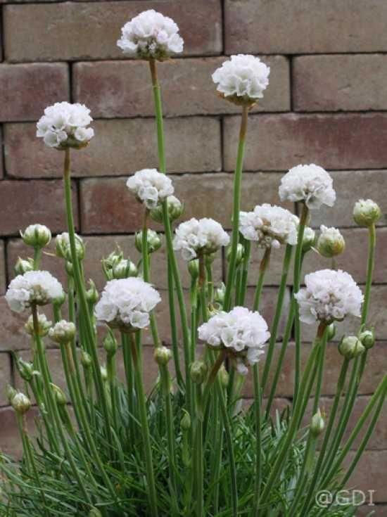die besten 25 grasnelke ideen auf pinterest bl hende zimmerpflanzen staudengarten und gr ner. Black Bedroom Furniture Sets. Home Design Ideas