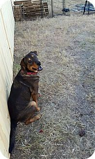 Shepherd (Unknown Type)/Rottweiler Mix Dog for adoption in Plano, Texas - Baby