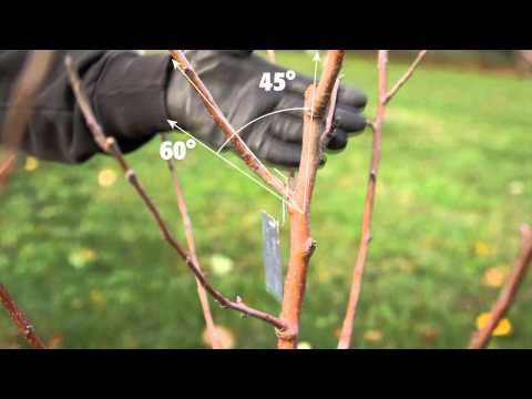 Sorry, that pruning asian pear trees 5440 completely