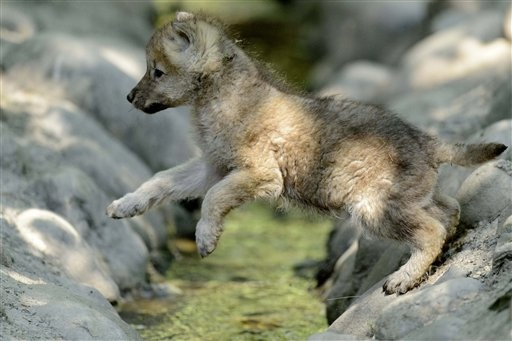Arctic wolf cubs in switzerland