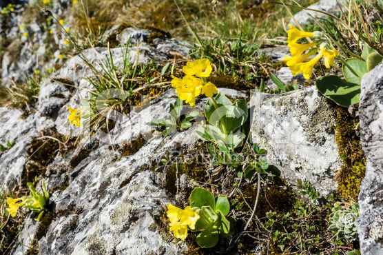 Primula auricula L. (auricula) growing on a limestone base royalty-free stock photo