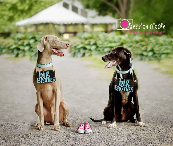 Best 25 Pregnancy announcement pets ideas – Cute Baby Announcement