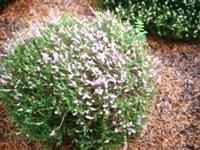 Calluna vulgaris 'Tib'