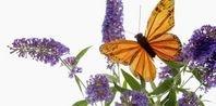 How to Prune a Dwarf Butterfly Bush