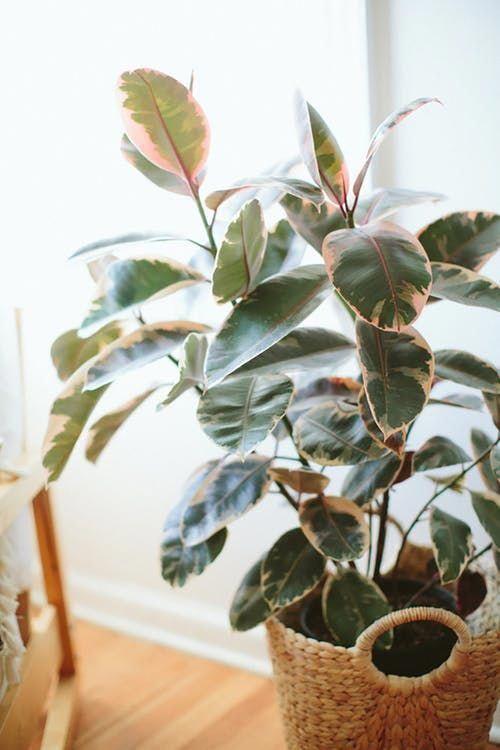 Pink Indoor House Plants Ficus Elastica Houseplants