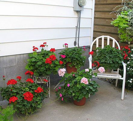 Geranium Care Overwintering and propagating