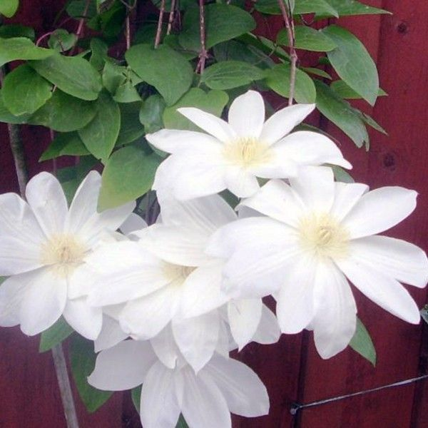 Klematis / Clematis Mevrouw Le Coultre