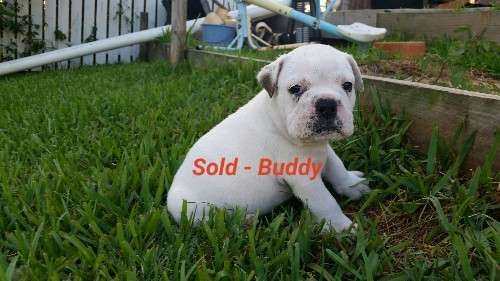 1 x aussie bulldog puppy looking for his forever home $1500, from a litter of 7.    1 x Male (Duke)  1 x Female (Lexiloo) SOLD    Born 29/10/15  Ready for their new home 21/12/2015    Vet checked, wormed, 1st immunisation - https://www.pups4sale.com.au/dog-breed/665/Australian-Bulldog.html