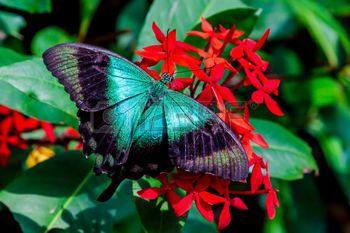flores rojas: Una mariposa de color verde azulado con alas extendidas sobre un ramo de flores rojas Foto de archivo