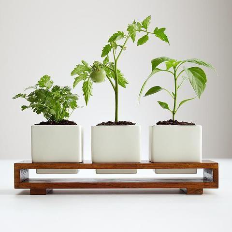 Designer salsa growing kit