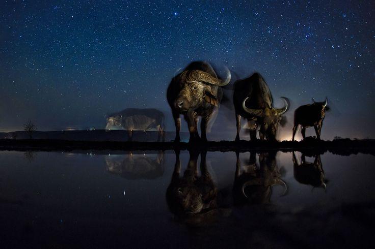 Természet (sorozat) III. helyÉjszakai itató. Máté Bence szabad szemmel jobbára láthatatlan, mégis teljesen hétköznapi élethelyzeteket fotózott Afrikában: az éjjel az itatónál pihenő állatokról távirányítású kamerával készültek ezek a fotók.