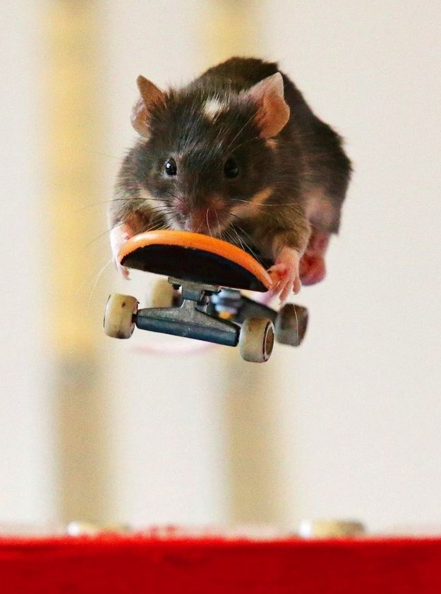 Now, what you've all been waiting for, SKATEBOARDING MICE.