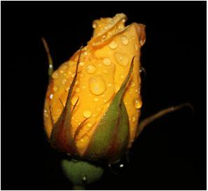 """Kız Arkadaşa Sarı Gül Vermek Ne Anlama Gelir?  Sevgilinize çok ama çok kıskanıyor ve bu kıskançlığı O'na belli etmek istiyorsanız, Sarı Güller sizi bekliyor. Zira bir ilişkide bayana sarı gül vermek, """"Kıskançlık"""" anlamına geliyor. Ancak bu zarif çiçeği arkadaşlarınıza, dostlarınıza verdiğinizde ise, anlamında epeyce bir kayma oluyor. Çünkü bu sefer de sarı güller, """"Arkadaşlarınızla olan ilişkinizin uzun soluklu olacağına, sevginizin ve dostluğunuzun son derece sağlam"""" olduğu anlamına…"""