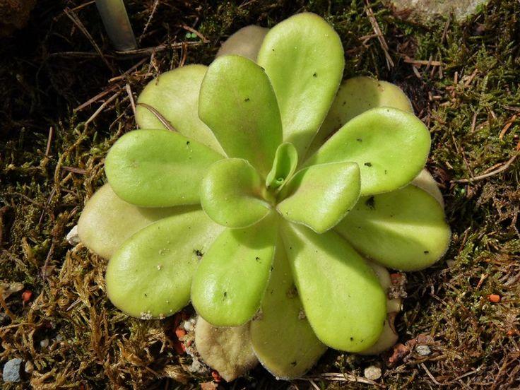 http://faaxaal.forumgratuit.ca/t2573-photo-de-plante-carnivore-pinguicula-agnata