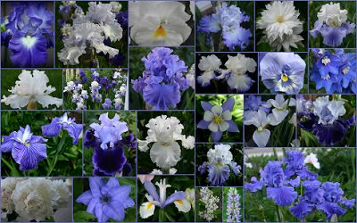 City Lights, Silverado, Heartstring Strummer, Stairway to Heaven, Mesmerizer, Sea Power, Queen's Circle, Global Crossing, Skating Party, World Premier, Monday Morning Blues TALL BEARDED IRIS AND COMPANION PLANTS