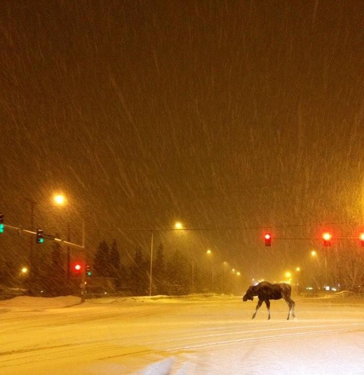 A moose wandering the snowy streets of Anchorage late at night. Thanks Carla McDowell