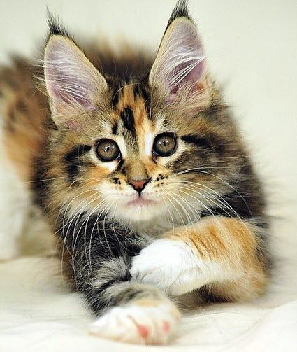 I think it's possible that Maine Coon cats are the most popular breed that we post – they always get a great reaction. Then again Bengals run them close and a plain pretty moggie can do the same. Either way, this is a gorgeous example!
