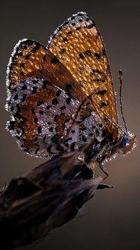 Motyl w kroplach rosy