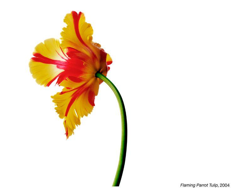 Flamming Parrot Tulip