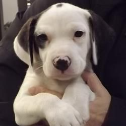 "Bentley - 8-week-old, black and white Beagle mix   Capital Area Humane Society:  ""Bentley is a playful male 8 week old White & Black Beagle mix pup. He is sweet and loving and needs a great family to adopt and love him. So come in and meet Bentley and give him a cuddle you'll fall in love!"""