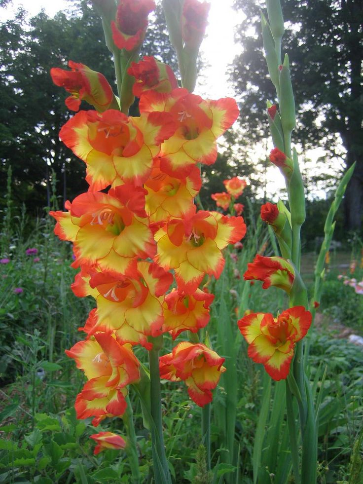 Glads Flowers | Gladiolus Flowers Pictures