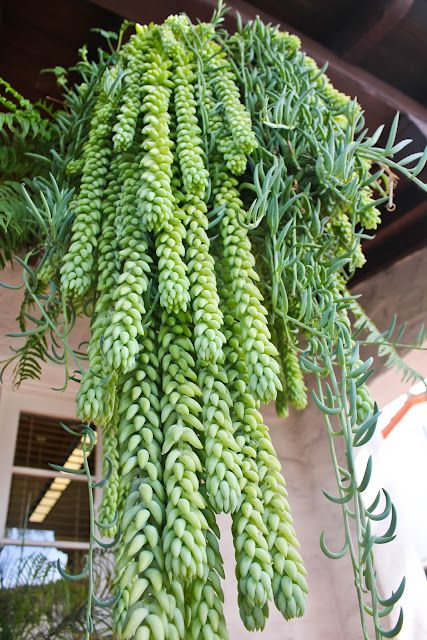 Hanging succulents ~ donkey tail and fishhook..I am growing the fishhook kind...love them, hardy and they grow fast.