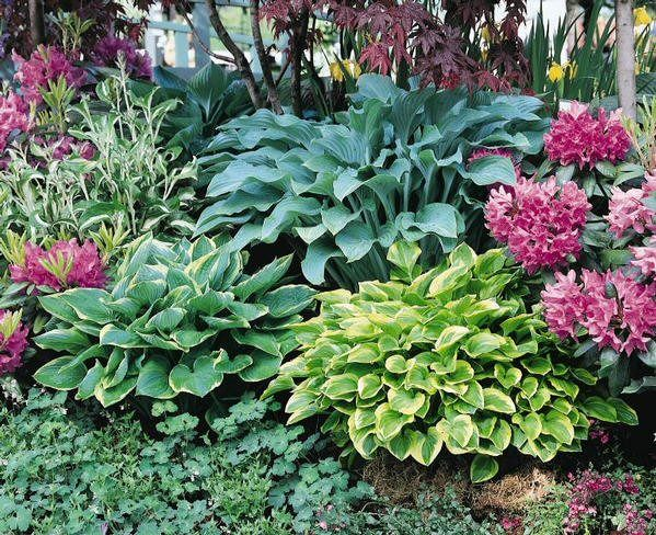 Hostas azaleas japanese maple vegetable gardening for Japanese outdoor plants