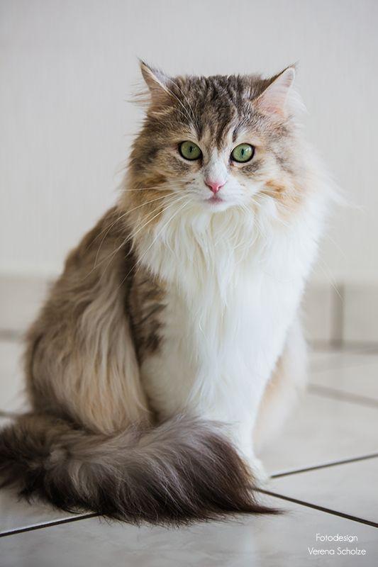 Teezeit - Die italienieche Hexe - Oriellas sibirische Katze