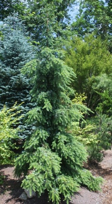 Picea omorika Pendula:  Weeping Serbian Spruce Deer Resistant A dramatic exclamation point for any sunny garden, the Weeping Serbian Spruce is simply breathtaking year-round with its elegant columnar form, slightly twisted, pendulous branches, and two-tone foliage of green and sliver. Create a unique accent or unforgettable landmark with this rare and very choice conifer!