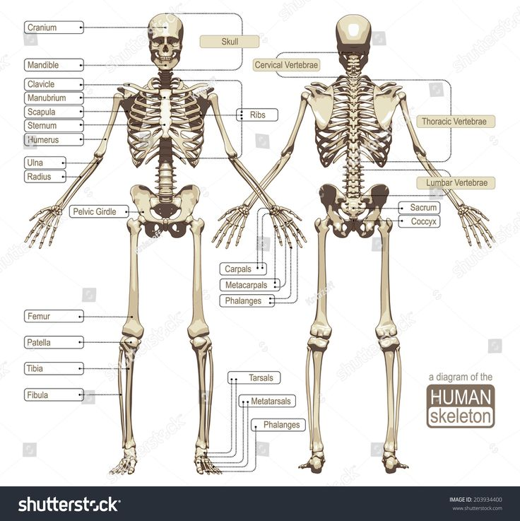 77 best medviz skeletal system images on pinterest human body bones and medical science. Black Bedroom Furniture Sets. Home Design Ideas