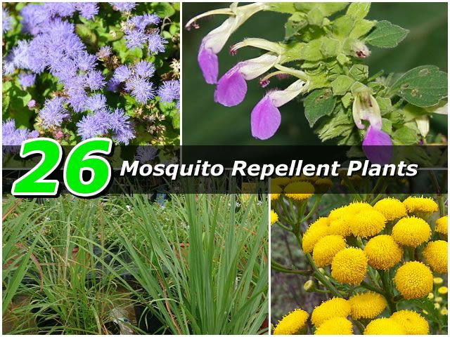 26 Mosquito Repellent Plants