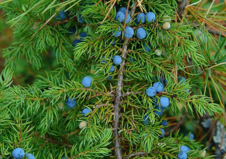 Можжевельник (лат. Juniperus).