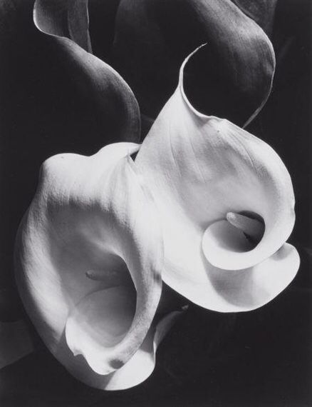 zzzze — Imogen Cunningham Two Callas, 1929, printed no...