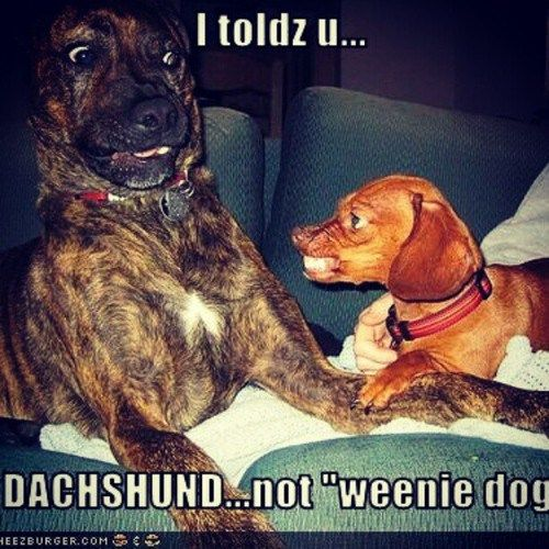 dashound meme | Dachshund Memes | LizRio