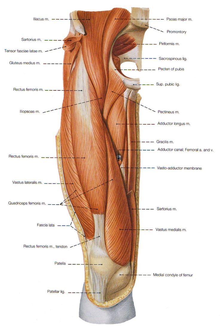 Groin Muscle Anatomy Diagram Human Anatomy Drawing Pinterest