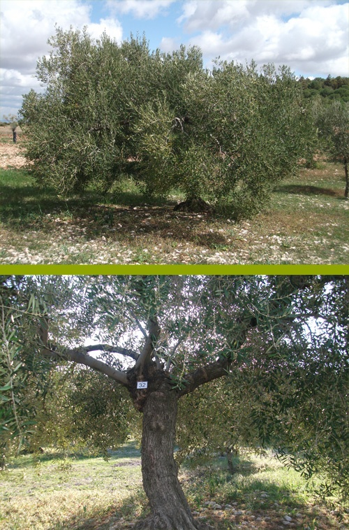 Apadrina un olivo - adopt an olive tree