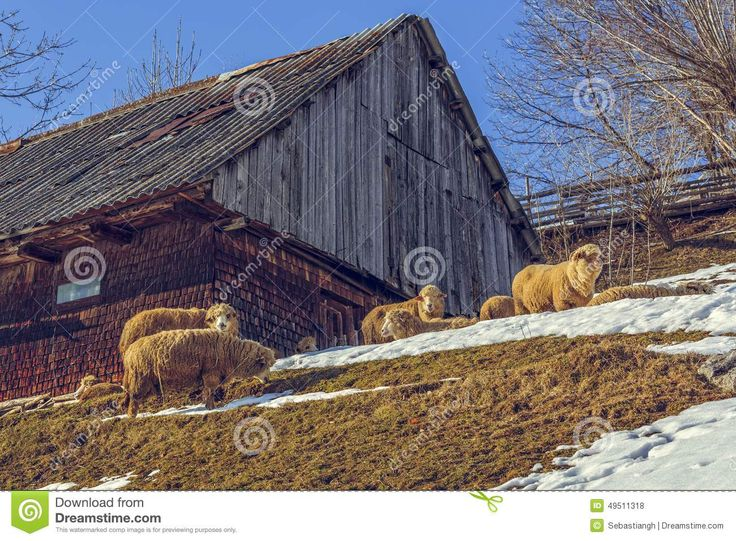 Sunny winter scene with traditional Romanian wooden hut and sheep grazing nearby in Magura village, Brasov count, Romania.