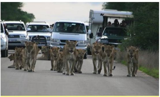 """"""" Only in SA""""….a pride of lions saunters while the cars pile up behind.. Photograph by Maurice Rolfe."""