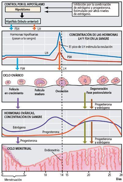 Ciclo Hormonal Femenino