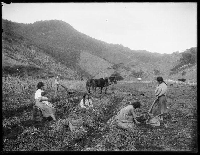 Shows Maori women harvesting what is probably kumara, ca 1910.